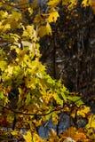 秋天枫叶背景,阳光 公园或森林 免版税图库摄影