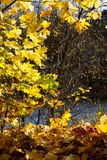 秋天枫叶背景,阳光 公园或森林 免版税库存照片