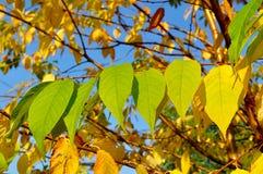 秋天染黄了鸟樱桃树,秋天晴朗的风景叶子  图库摄影