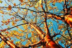 秋天染黄了鸟樱桃树-在葡萄酒口气的秋天晴朗的风景 库存照片