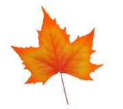 秋天查出的叶子槭树白色 免版税库存图片