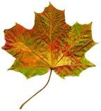 秋天查出的叶子槭树 免版税库存图片