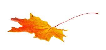 秋天查出的叶子槭树 图库摄影