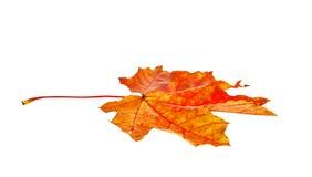 秋天查出的叶子槭树 库存照片