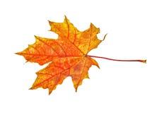 秋天查出的叶子槭树 免版税图库摄影