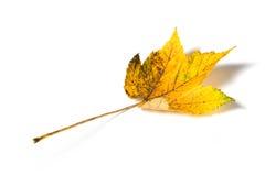 秋天查出的叶子白色 库存照片