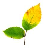 秋天查出的叶子 库存图片