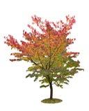 秋天查出的结构树白色 免版税库存照片