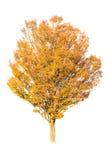 秋天查出的结构树白色 免版税库存图片
