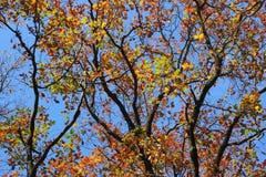秋天树分支  库存照片