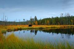 秋天树和湖有熊的 走在有秋天颜色的湖附近的美丽的棕熊 在自然木头,蜂蜜酒的危险动物 免版税库存照片