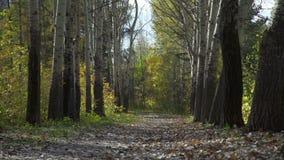 秋天树在森林里 股票视频