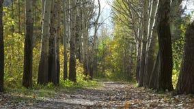 秋天树在森林里 影视素材