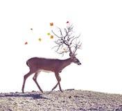 秋天树在白色背景的垫铁鹿 免版税库存图片