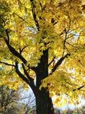秋天树在芝加哥 库存图片