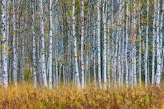 秋天树在芬兰森林染黄与反射的树在寂静的水表面 与树的秋天风景 背景贝加尔湖桦树湖结构树 免版税库存照片