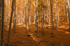 秋天树样式 免版税库存照片