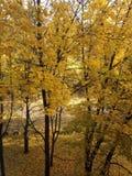 秋天树槭树 免版税库存图片
