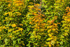 秋天树橙黄叶子自然背景 库存图片