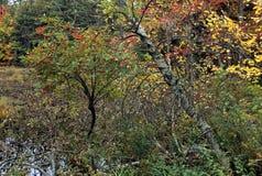 秋天树用莓果 免版税库存照片