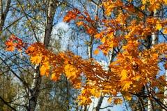 秋天树的片段 免版税库存图片