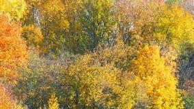 秋天树的美好的多彩多姿的上面 股票视频