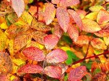 秋天树红色,黄色叶子  库存照片