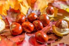 秋天栗子宏观照片在黄色叶子背景的  免版税库存照片