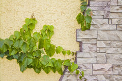秋天样式|上升在灰泥墙壁上的绿色常春藤 免版税图库摄影
