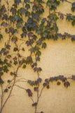秋天样式|上升在灰泥墙壁上的绿色常春藤 图库摄影