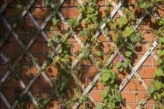 秋天样式|上升在灰泥墙壁上的绿色常春藤 免版税库存图片