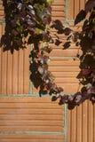 秋天样式|上升在灰泥墙壁上的绿色常春藤 库存照片