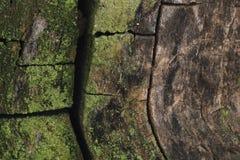 秋天桑树 库存图片