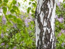 秋天桦树分行色的叶子树干 背景构造了 春天在桦树树丛里 开花的丁香分支在背景中在迷离 图库摄影
