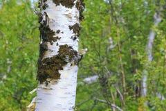 秋天桦树分行色的叶子树干 库存图片