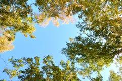 秋天桦树叶子草甸橙树 与太阳照亮的绿色和黄色叶子的分支 以蓝天为背景 免版税库存照片