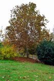秋天桦树叶子草甸橙树 库存图片