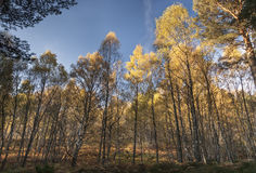 秋天桦树在古苏格兰森林里在苏格兰 免版税库存照片
