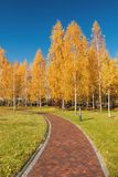 秋天桦树树丛的看法 库存照片