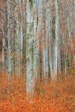 秋天桦树树丛 库存图片