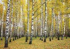 秋天桦树树丛 免版税库存照片