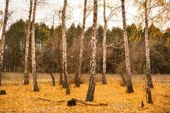 秋天桦树树丛 免版税图库摄影
