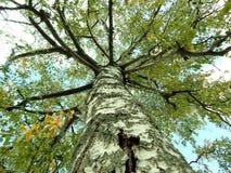 秋天桦树树干 免版税库存照片