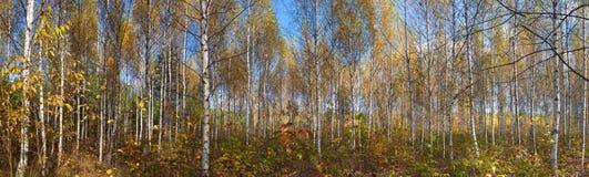 秋天桦树森林全景  免版税库存图片