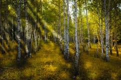秋天桦树森林 库存图片