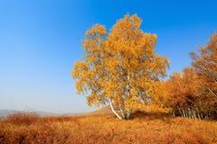秋天桦树森林 免版税库存照片