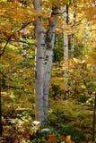 秋天桦树白色 免版税库存照片