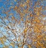 秋天桦树,背景 免版税库存照片