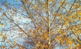 秋天桦树,背景 库存图片