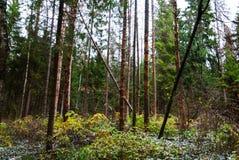 秋天森林、高大的树木、下落的杉木和一些雪 免版税库存图片